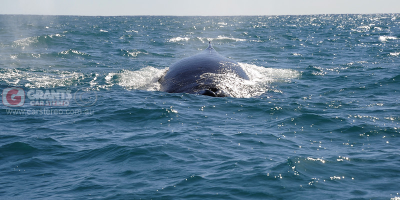 A Humpback whale the size of a bus making us think twice about getting out of his way. An amazing experience and another reason to visit Kalbarri in Western Australia.