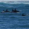 A large pod of Dolphins playing in the waters South of Kalbarri in Western Australia.