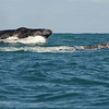 Humpback whales playing in the waters off Kalbarri. An amazing experience and another reason to visit Kalbarri in Western Australia.