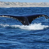 A Humpback whale playing in the waters off Kalbarri. An amazing experience and another reason to visit Kalbarri in Western Australia.