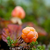 Multe, Rubus chamaemorus