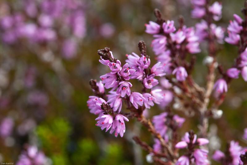 Røsslynd, Calluna vulgaris, Hardangervidda