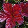 Høstfarget multeblad, f=36, Hardangervidda