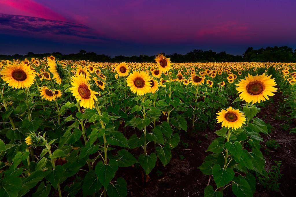 PreDawn Sunflower Field