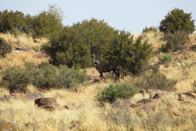 Gemsbok taking shelter against the heat of midday, near Petrusville, South Africa