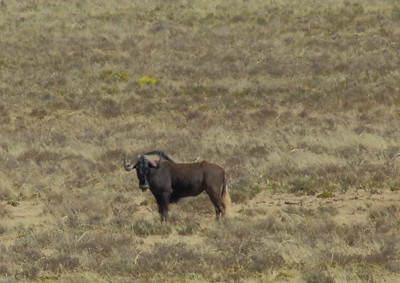 Swart Wildebees (Black Wildebeest), near Petrusville, South Africa