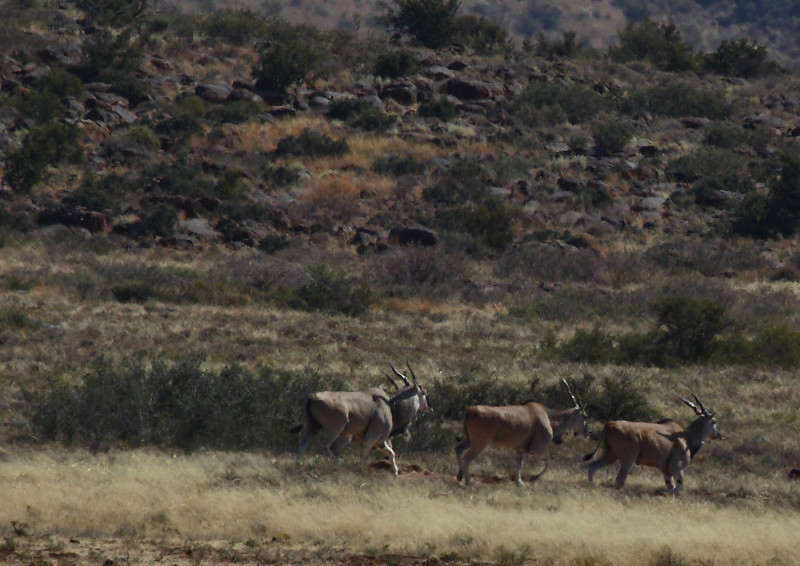 Eland, new Petrusville, South Africa