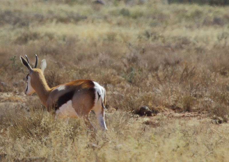 Springbok, near Petrusville, South Africa
