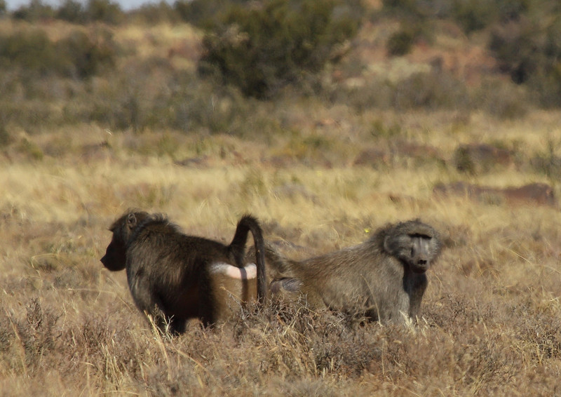Bobbejaan (Baboon), near Petrusville, South Africa