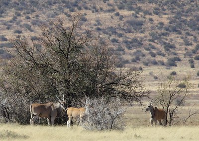 Eland, near Petrusville, South Africa