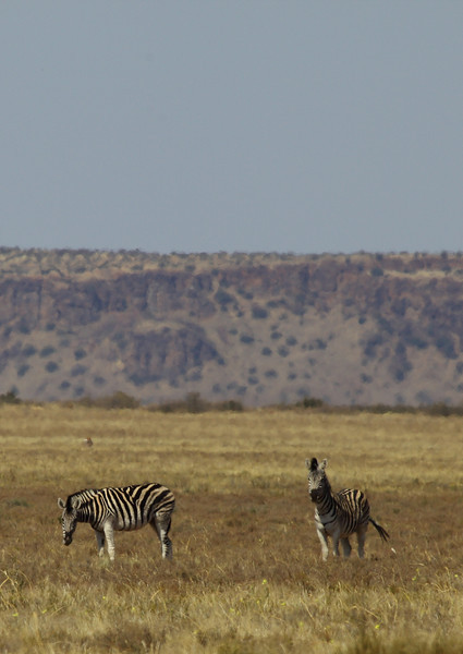 Zebra, near Petrusville, South Africa