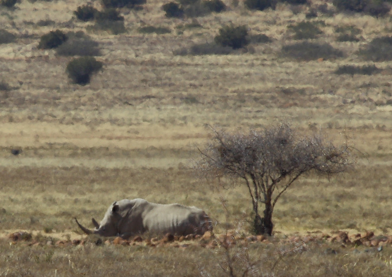 White rhinoceros lying down, near Petrusville, South Africa