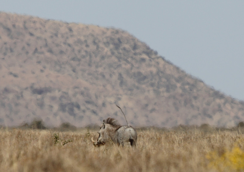 Vlakvark (warthog) running away, near Petrusville, South Africa