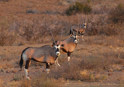 Gemsbok, near Petrusville, South Africa.  It was a dry season so they are not in the best condition.  The gemsbok or gemsbuck is a large antelope in the Oryx genus. It is native to the arid regions of Southern Africa, such as the Kalahari Desert.