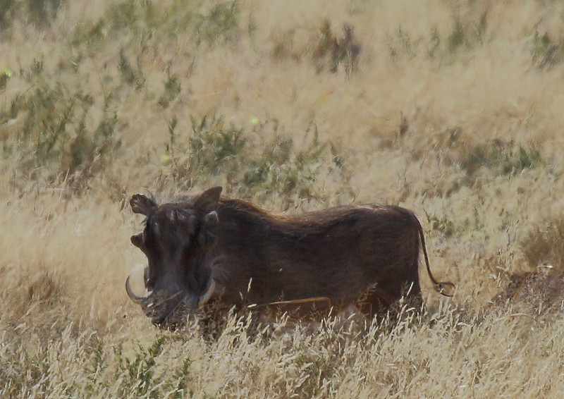 Vlakvark (Warthog), near Petrusville, South Africa