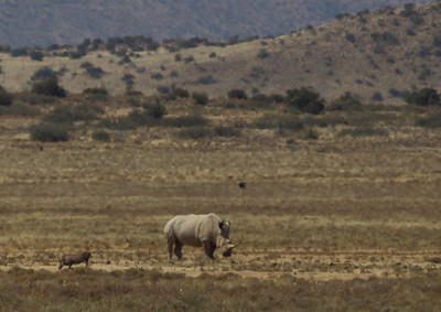 Wit renoster en wildevark (white rhinoceros and warthog), near Petrusville, South Africa