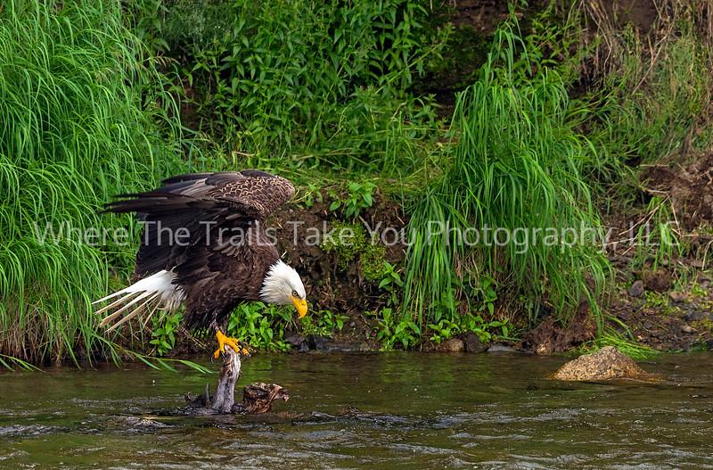76.  Bald Eagle On A Snag