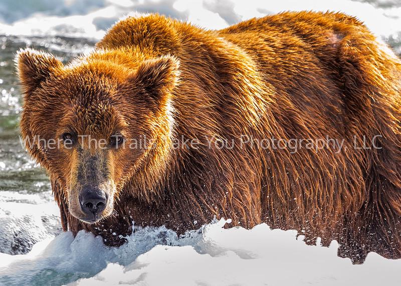 41.  Bear In The Rapids