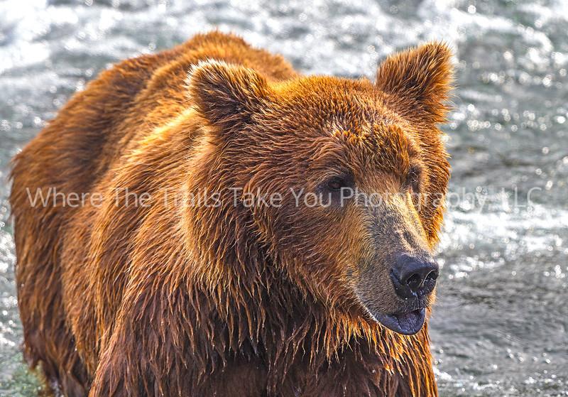 44.  Portrait Of A Bear