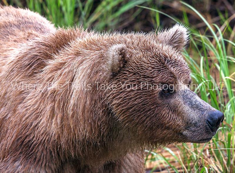 12.  Bear Close Up