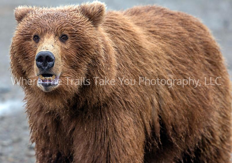 16.  Bear Close Up