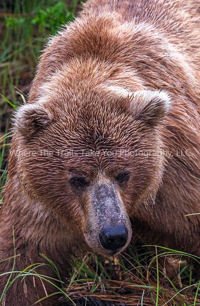 11.  Bear Face