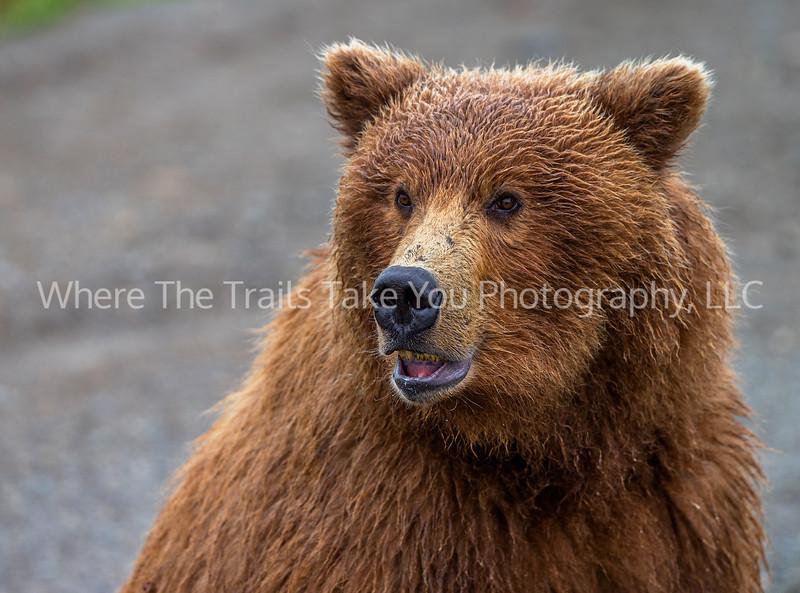 13.  Bear Portrait
