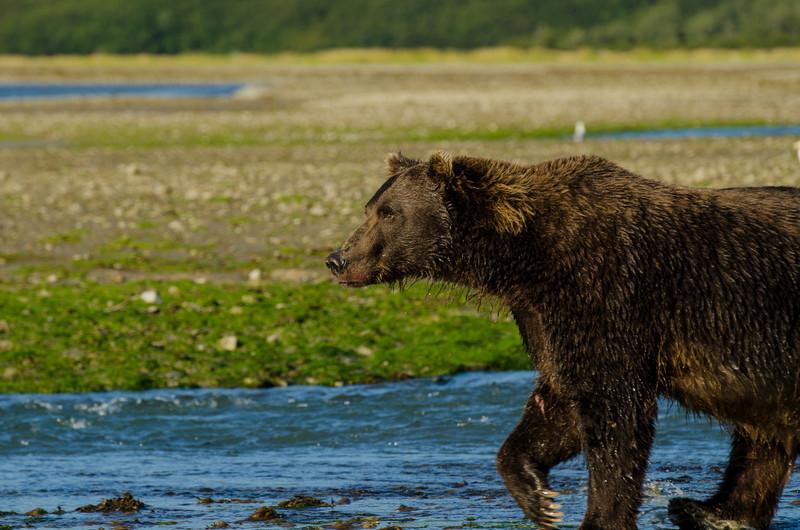 Katmai-Alaska-Kukak-Bay-Grizzly-Brown-Bears-_J700657