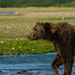 Katmai-Alaska-Kukak-Bay-Grizzly-Brown-Bears-_J700657