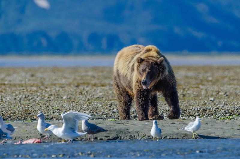 Katmai-Alaska-Kukak-Bay-Grizzly-Brown-Bears-_J701080