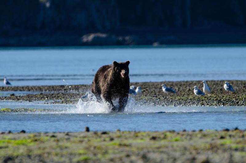 Katmai-Alaska-Kukak-Bay-Grizzly-Brown-Bears-_J700864