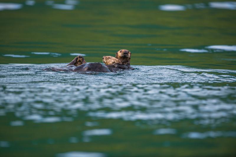 Katmai-Alaska-Kukak-Bay-Grizzly-Brown-Bears-_D8X6632