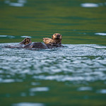 Katmai-Alaska-Kukak-Bay-Grizzly-Brown-Bears-_D8X6632