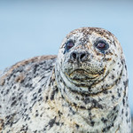 """""""Alaska Harbor Seal up Close!"""" Isn't this just cute!! You just want to cuddle ;-) This is from my Katmai National Park & Preserve trip and we found a number of Harbor Seals laying on the rocks. They were just hanging out on the rocks. The texture in their fur is amazing and you can see the sky reflected in his eyes. Love those whiskers! The hard part about capturing these was I was hand hol...See More<br /> — at Katmai National Park & Preserve."""