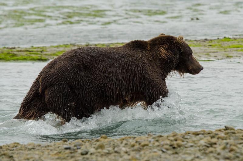 Katmai-Alaska-Kukak-Bay-Grizzly-Brown-Bears-_J700423
