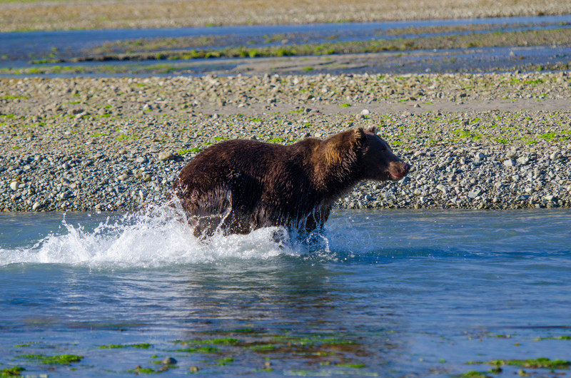 Katmai-Alaska-Kukak-Bay-Grizzly-Brown-Bears-_J700700