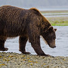 Katmai-Alaska-Kukak-Bay-Grizzly-Brown-Bears-_J701468