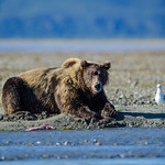 Katmai-Alaska-Kukak-Bay-Grizzly-Brown-Bears-_J701138