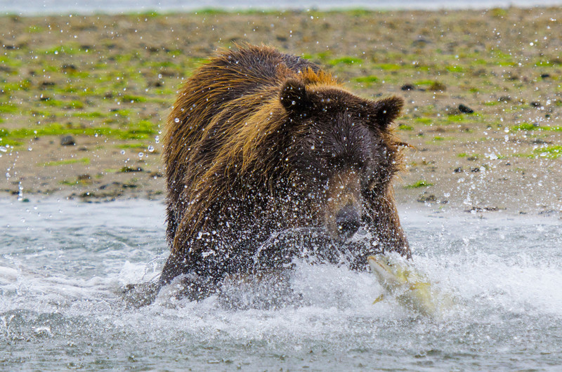 """Katmai Grizzly scaring the Salmon"" This is from my trip to Katmai Alaska this summer. The water droplets spraying everywhere and the Salmon jumping out of the water to get away! Nothing but determination on this Brown Bears face! — at Katmai National Park & Preserve"