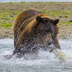 """""""Katmai Grizzly scaring the Salmon"""" This is from my trip to Katmai Alaska this summer. The water droplets spraying everywhere and the Salmon jumping out of the water to get away! Nothing but determination on this Brown Bears face! — at Katmai National Park & Preserve"""