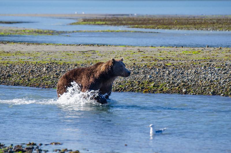 Katmai-Alaska-Kukak-Bay-Grizzly-Brown-Bears-_J700690
