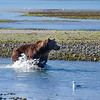 Katmai-Alaska-Kukak-Bay-Grizzly-Brown-Bears-_J700690