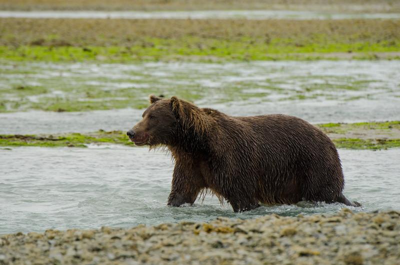 Katmai-Alaska-Kukak-Bay-Grizzly-Brown-Bears-_J700401