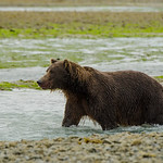 Katmai-Alaska-Kukak-Bay-Grizzly-Brown-Bears-_J700401