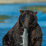 """""""Salmon Sushi for Breakfast"""" This is the follow-up picture to the previous one from my Alaska Katmai adventures! The Grizzly got the Salmon! We watched one bear catch about 12 salmon in 2 hours!! Just amazing watching them storm through the water and devour their catch. — at Katmai National Park & Preserve.   Take a look at renting a lens from Borrowlenses here:  <a href=""""http://www.borrowlenses.com/product/nikon_super_tele/Nikon_500mm_f4_VR?blpid=JHARRISONPHOTO"""">http://www.borrowlenses.com/product/nikon_super_tele/Nikon_500mm_f4_VR?blpid=JHARRISONPHOTO</a>"""