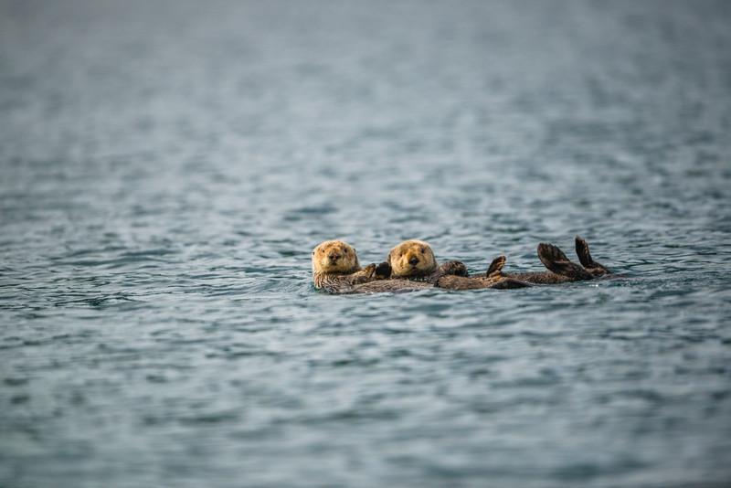 Katmai-Alaska-Kukak-Bay-Grizzly-Brown-Bears-_D8X6692