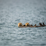 Katmai-Alaska-Kukak-Bay-Grizzly-Brown-Bears-_D8X6692