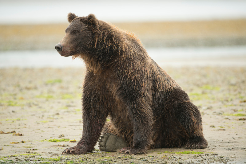 Katmai-Alaska-Kukak-Bay-Grizzly-Brown-Bears-_D8X0480