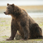 Katmai-Alaska-Kukak-Bay-Grizzly-Brown-Bears-_D8X0480