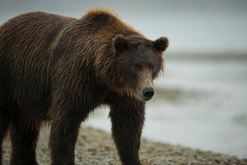 Katmai-Alaska-Kukak-Bay-Grizzly-Brown-Bears-_D8X0430